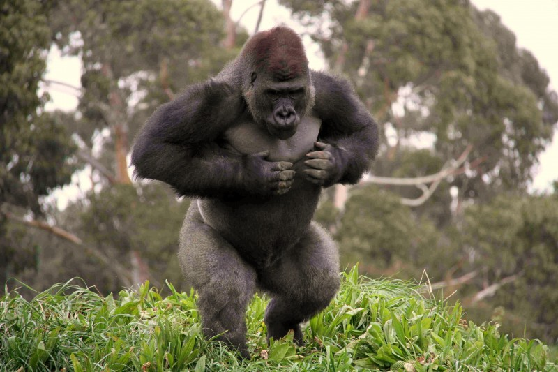 Orana Wildlife Park :: NZ's Only Gorillas